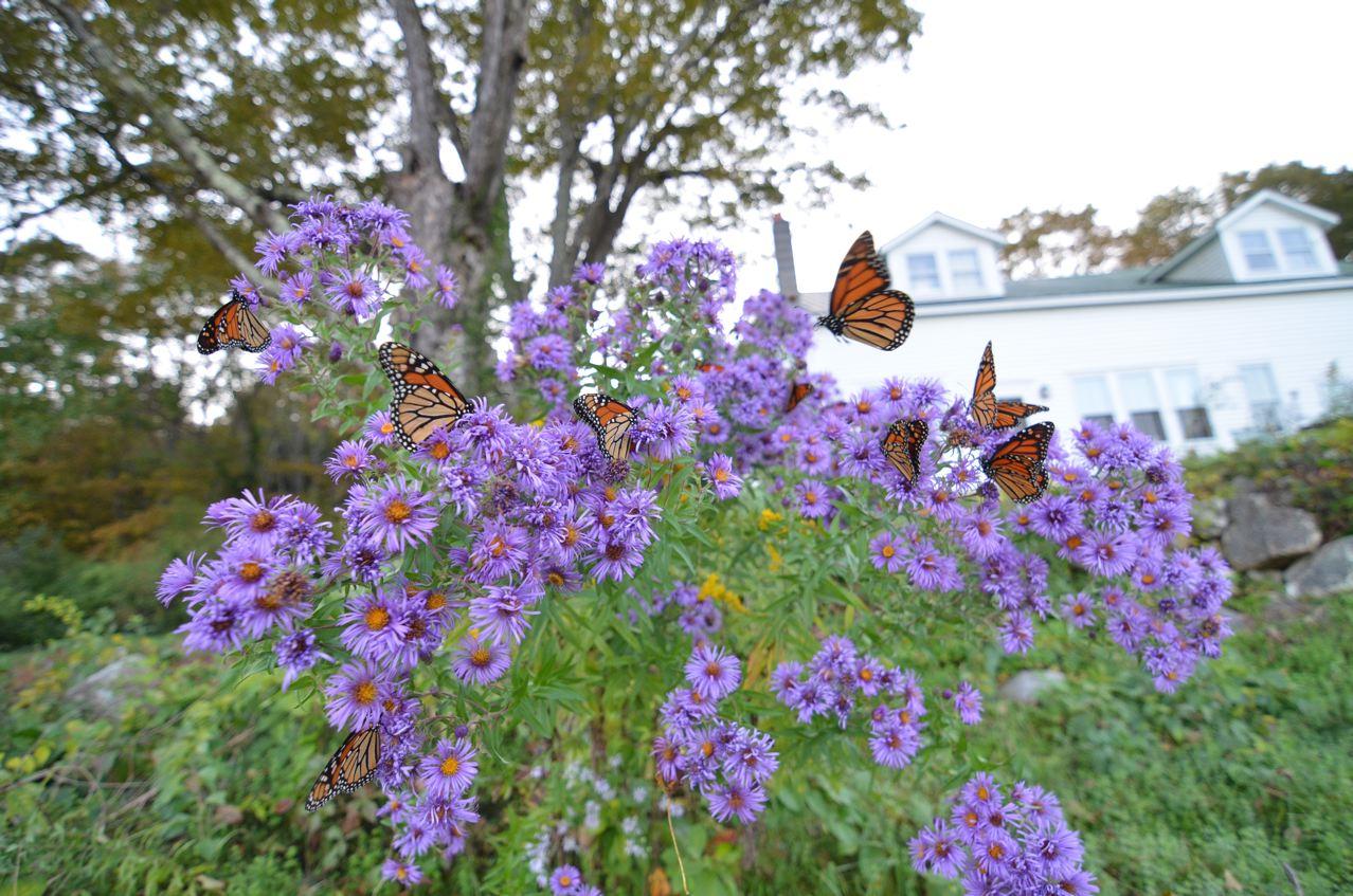 new england aster wildflower – Rovin' Fest