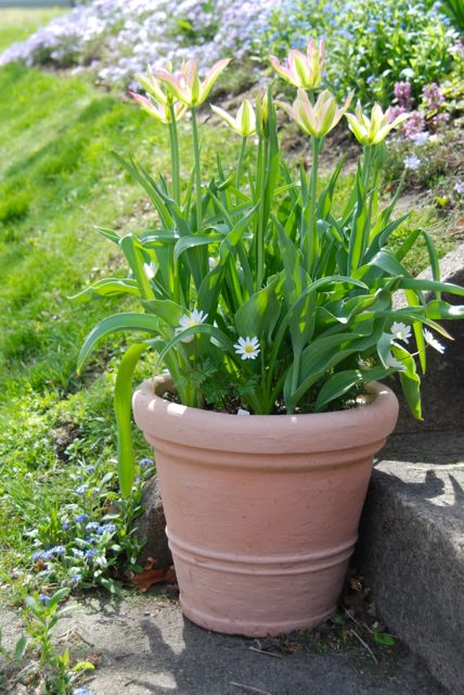 Tulip 'Virichic' potted up with white Anemone blanda, in front of the blooms on the Hill Garden.