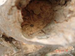 Abelhas da caatinga no tronco da imburana