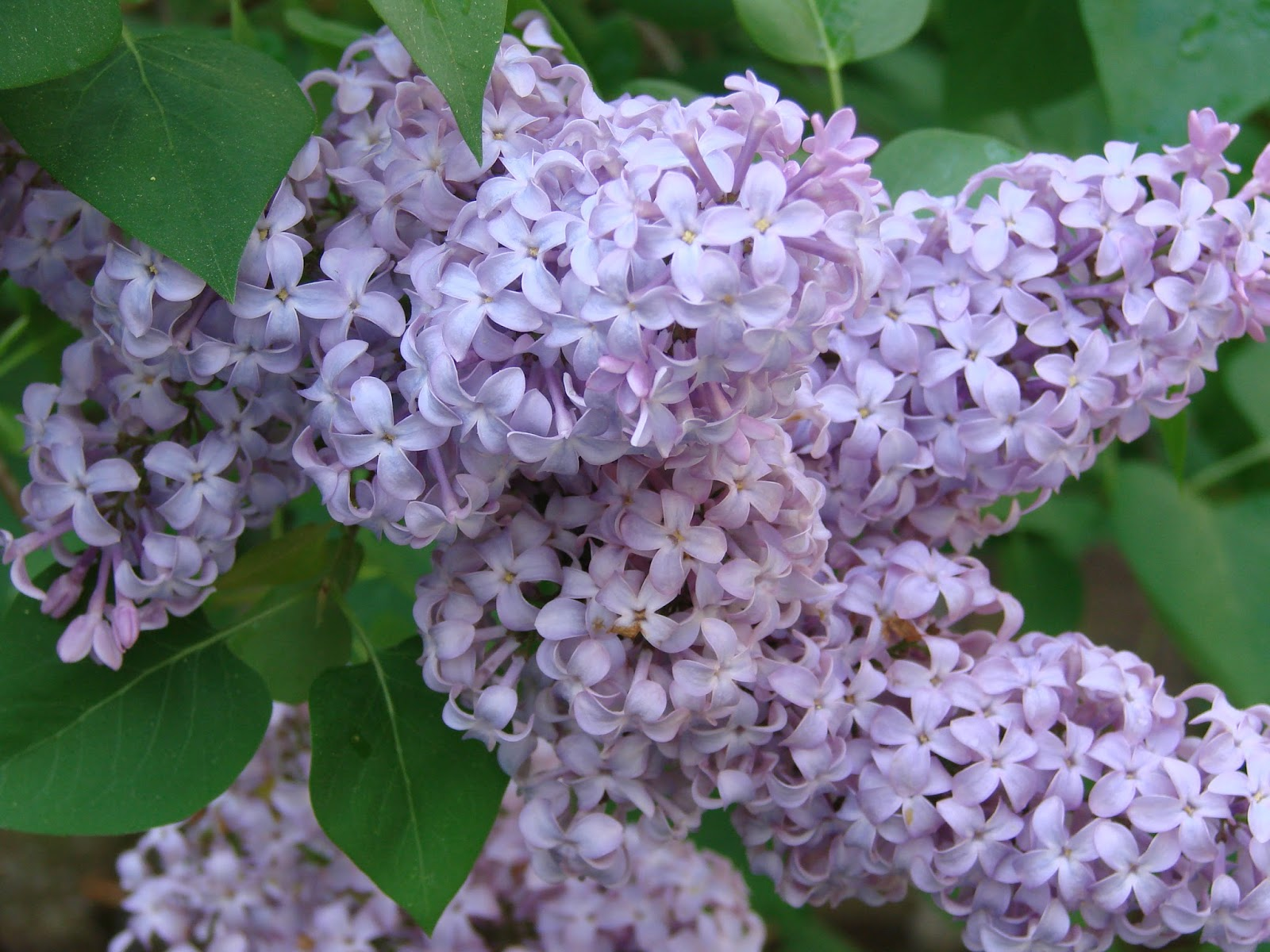 Image Gallery lilac meaning