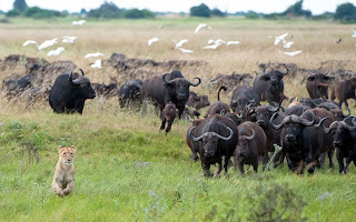 Lion with buffalo