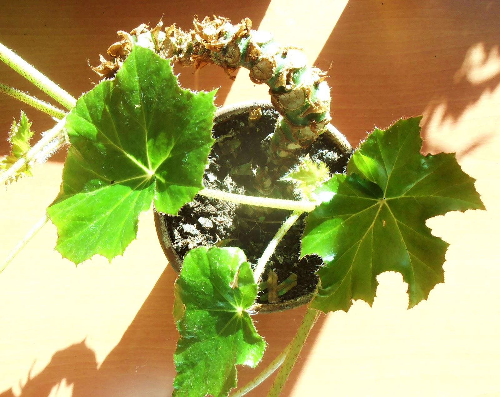 La ventana de javiruli plantas de interior 5 cuidados begonia ricinifolia - Plantas grandes de interior resistentes ...