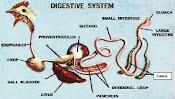 sistem pencernaan unggas