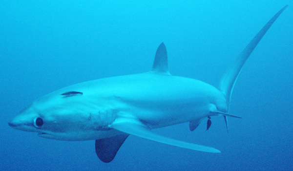 is that thresher sharks are observed commonly jumping out of the water    Thresher Shark Jumping Out Water