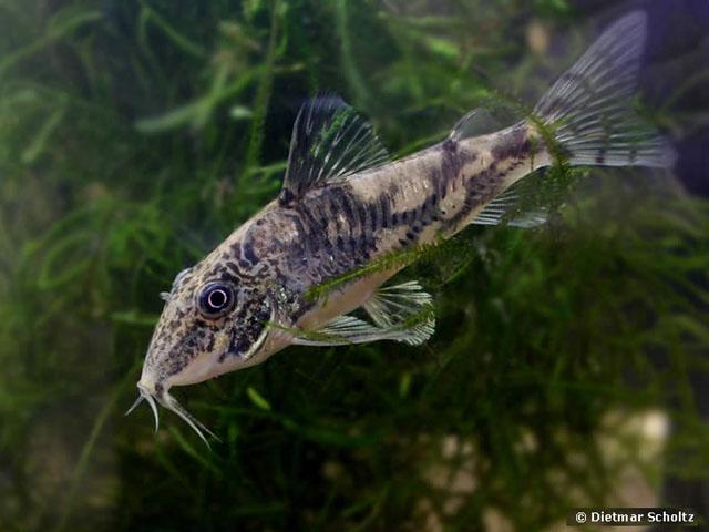 Fish Pictures: Banded corydoras - Scleromystax barbatus