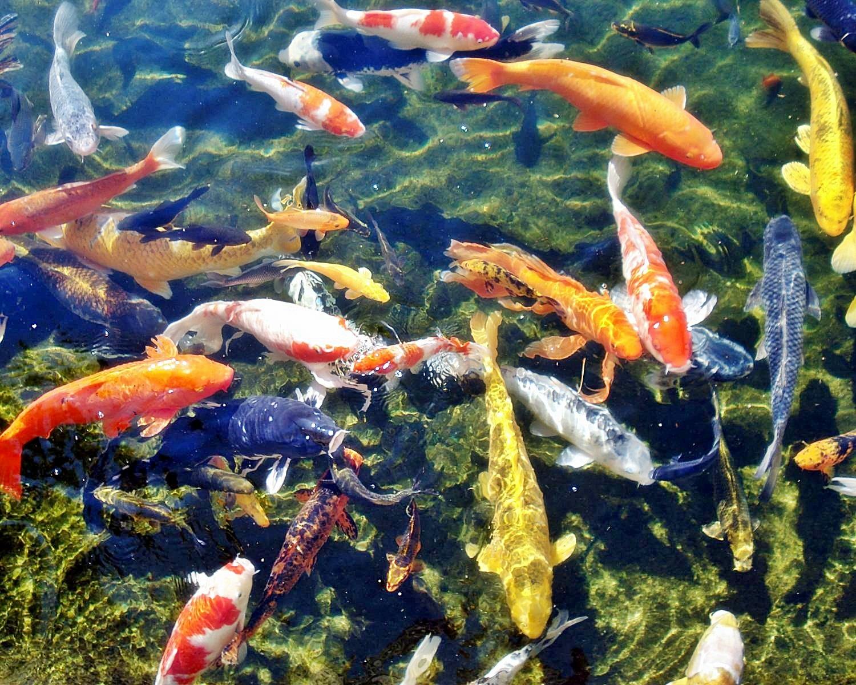 Membuat filter kolam ikan koi sederhana ~ Informasi Dunia Air
