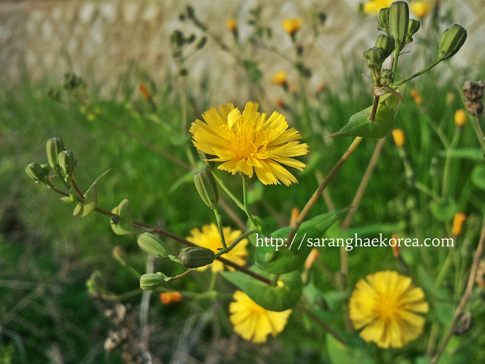 8 Featured Wild Spring Flowers Of Korea Saranghae Korea