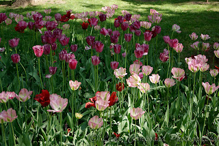 lalele tulip tulpen tulipa