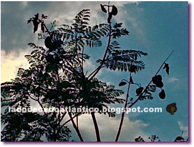Foto em detalhe de galhos com folhas e sementes do jacarandá-mimoso, Lisboa