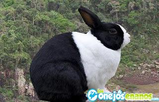 Dutch raza de conejos enanos