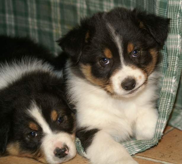 Australian Shepherd Puppy Pictures | Puppy Pictures and Information