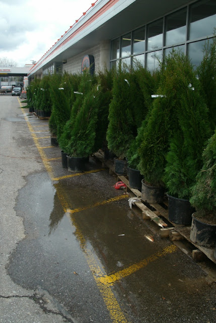 More Thuja occidentalis smaragd Emerald cedars in a  big box store parking lot by garden muses: a Toronto gardening blog