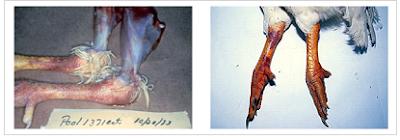 Tụ huyết, xuất huyết ở da chân-biểu hiện đặc trưng của bệnh cúm gia cầm (Ảnh sưu tầm)