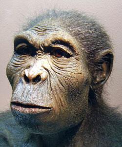 Scientific reconstruction of a Homo habilis