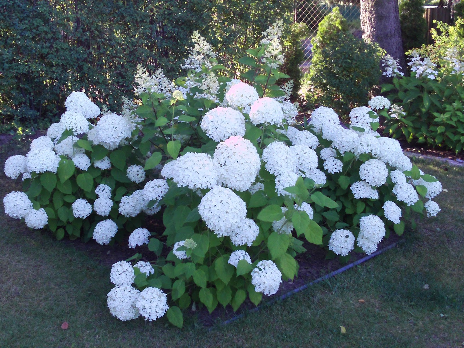 ballhortensie hydrangea arborescens archives. Black Bedroom Furniture Sets. Home Design Ideas