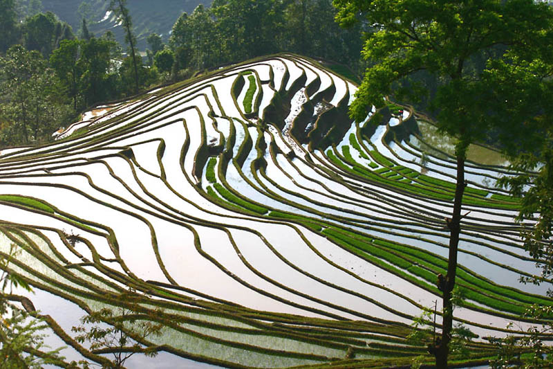 Terasasta polja  Pirincana-polja-10