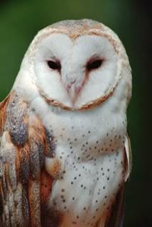 Gambar Barn Owl