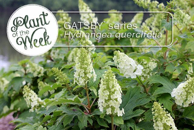 Gatsby Gal oakleaf hydrangea from Proven Winners