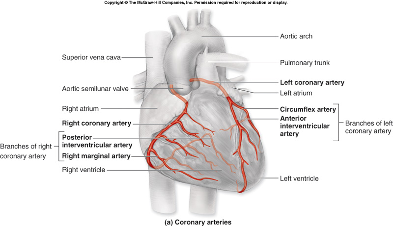 Dr Wheats Biology Blog Coronary Circulation