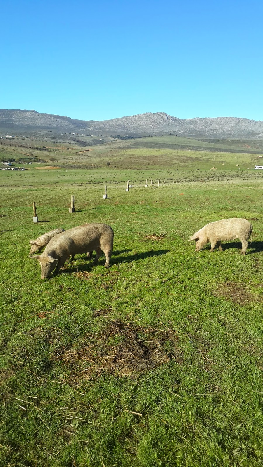 Cutting Pig Feed Costs down by 75% - Cape Town South Africa