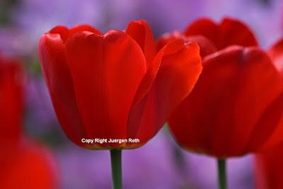 http://juergen-roth.artistwebsites.com/art/tulips