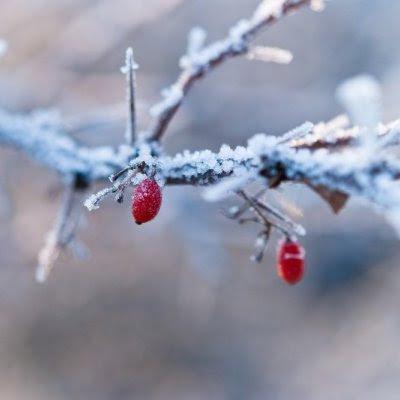 To røde bær på med vinterens frost på grenen - Om lidt, saa er vi skilt ad, - Som Bærrene paa Hækken