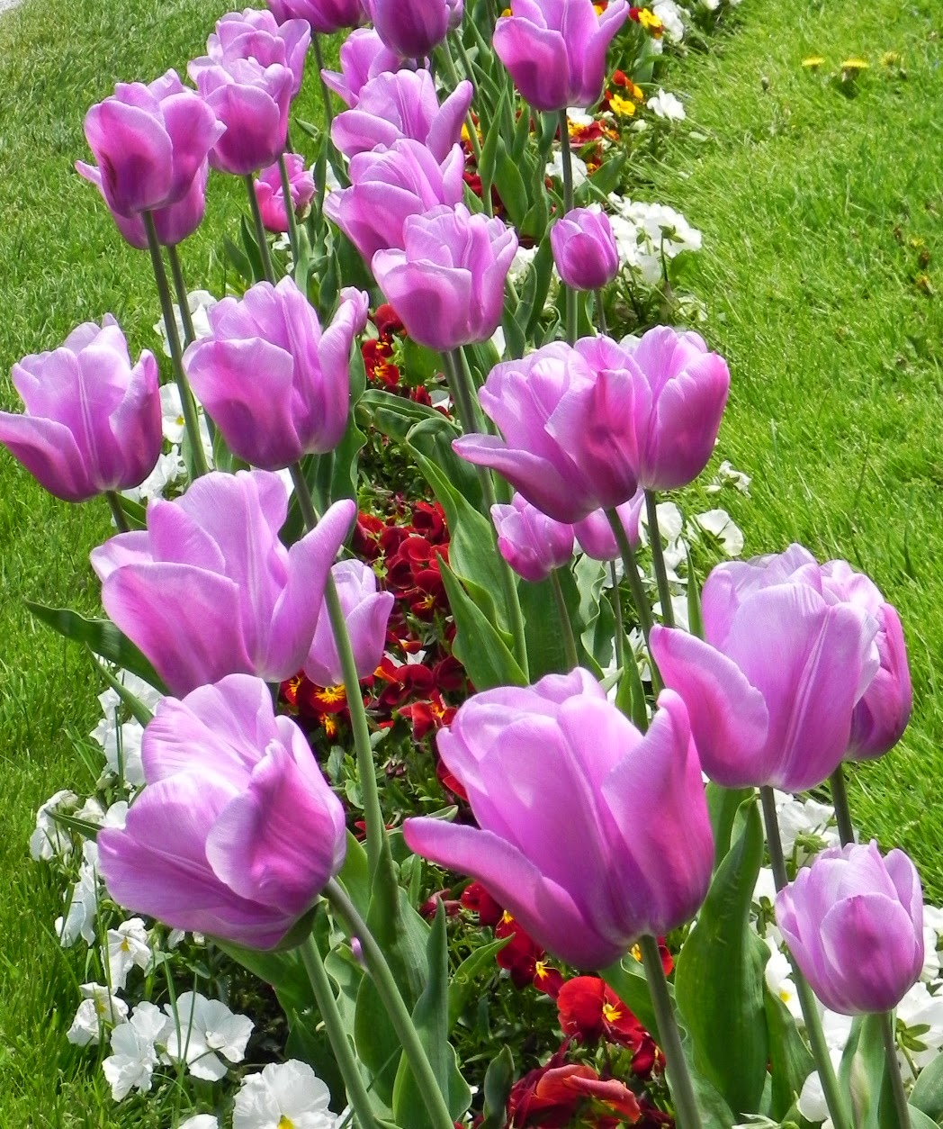 Seindah Tulips....
