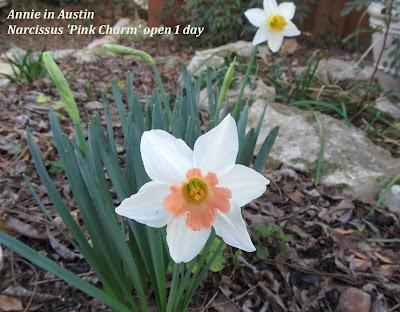 Annieinaustin, pink charm daffodil