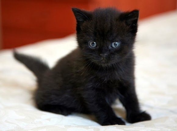 Black burmese cat price