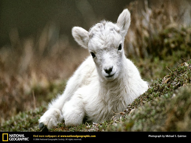 mountain goat baby wallpaper
