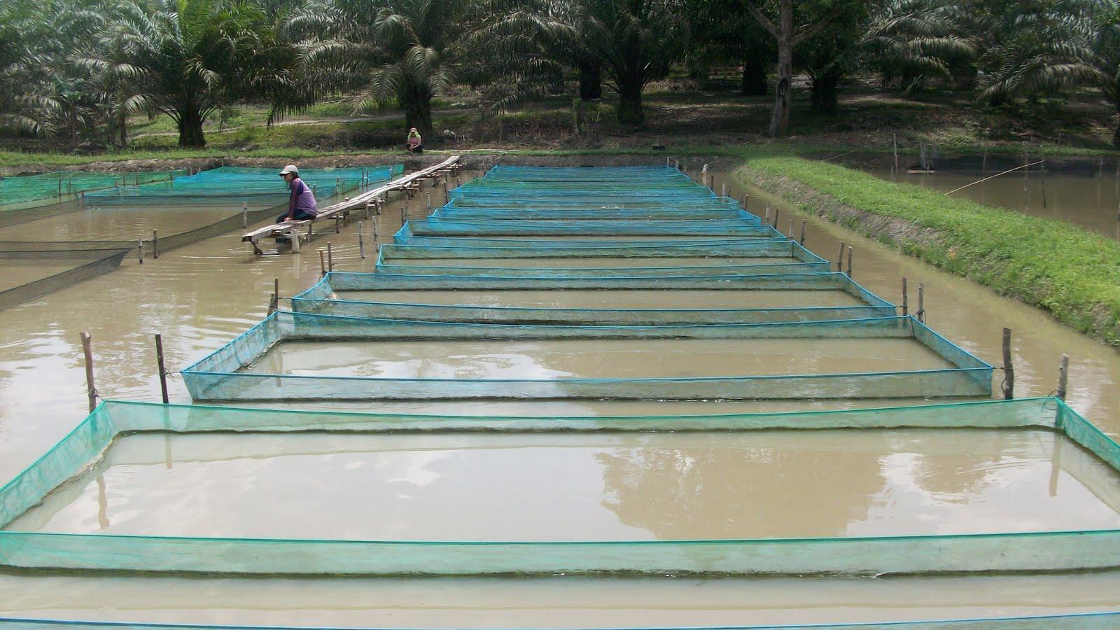 Tilapia Hacthery Berkah Brothers Fish Farm