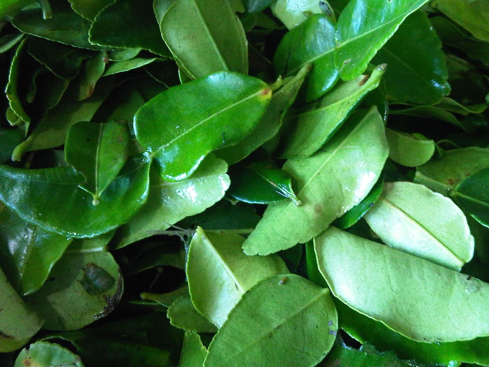 kaffir lime träd