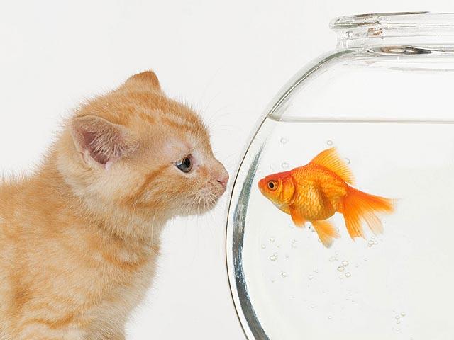 Animated Gif Image Cat Fishbowl