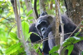 Kini, Simpanse Mulai Mahir Membuat Tombak