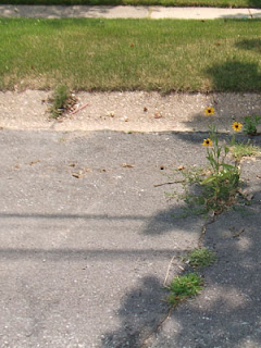 Black-Eyed Susan plant growing out of the street