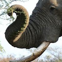 proboscis-trunk