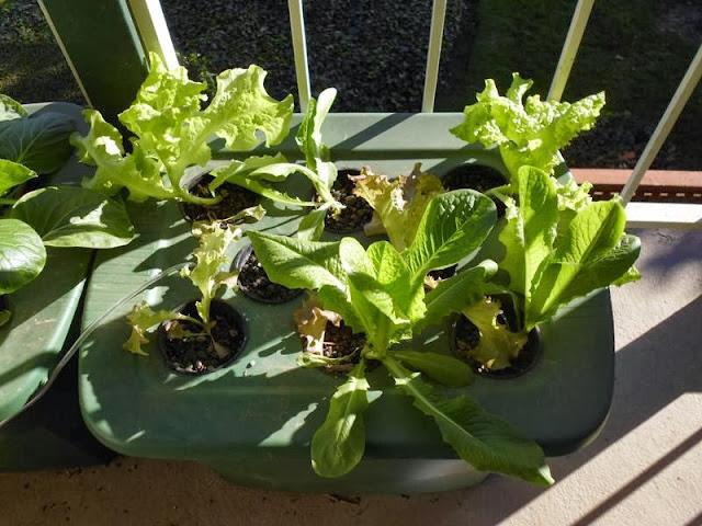 Lettuce DWC
