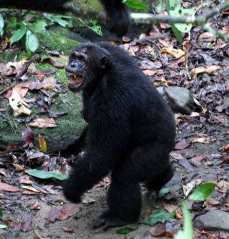 What You Can Learn From The Chimps: Traits Of The Alpha Male ...