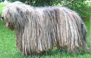 cachorro exótico