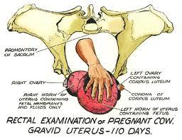 Chẩn đoán sự mang thai của bò bằng tay.