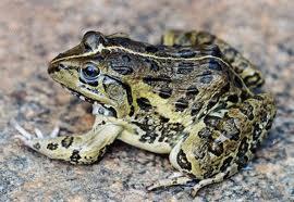 Edible Frog (live)