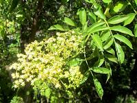 Elderberry in bloom on Oak Canyon Trail, Griffith Park