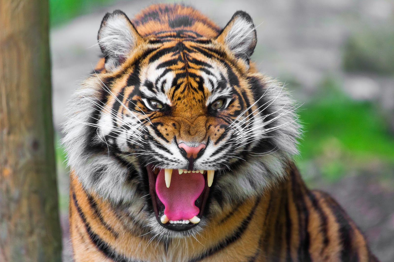 desktop hd wallpapers free downloads angry tiger hd