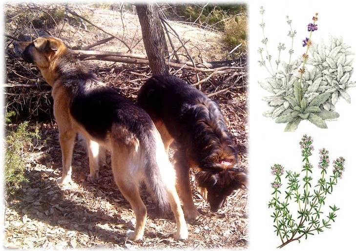 DIY Natural, Herbal Flea, Tick, Mosquito Repellent Sprays, Rubs, Dips, Rinse for Dogs and Cats