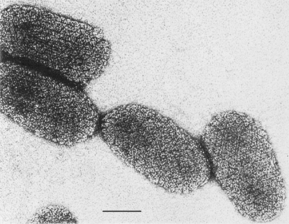 the rabies virus The rabies virus classification rabies virus belongs to the order mononegavirales, viruses with a nonsegmented, negative-stranded rna genomes within this group, viruses with a distinct bullet shape are classified in the rhabdoviridae family, which includes at least three genera of animal viruses, lyssavirus, ephemerovirus, and vesiculovirus.