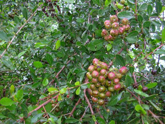 Lawsonia inermis ou r s da flore de l le de la r union for Entretien jardin reunion