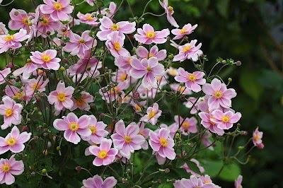 Il giardino sfumato settembre 2012 for Anemone giapponese
