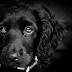 Υιοθετήστε ένα μαύρο σκύλο! Διαβάστε γιατί!