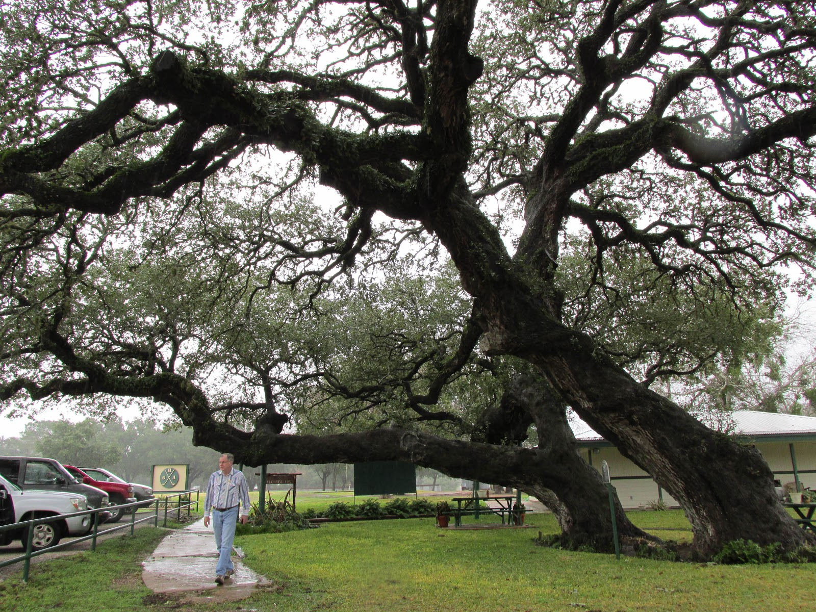 Meander and gander texas trees some famous and some not kirby oak sciox Choice Image