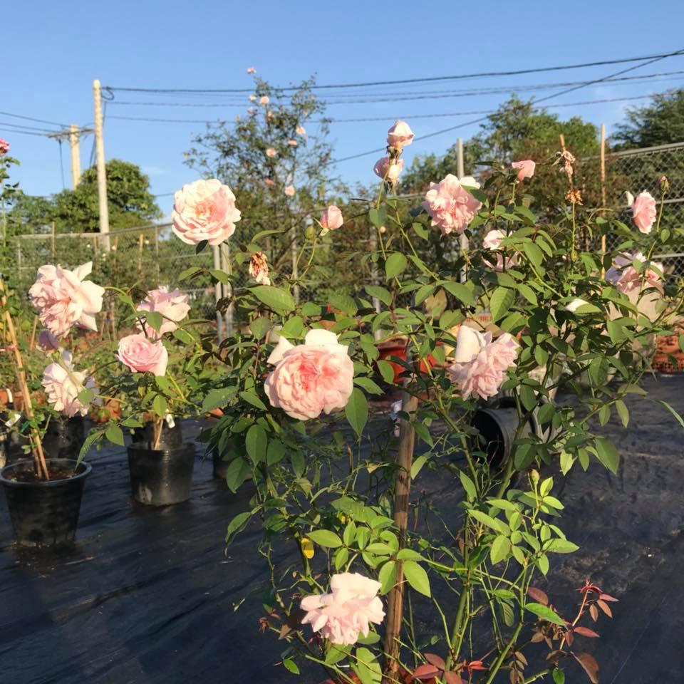 Bạn là người trồng hoa hồng?